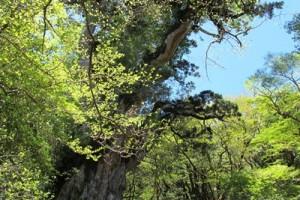 新緑と巨木